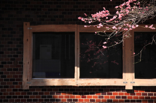 ⑰窓に映る梅の花